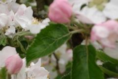 Apfelblüte-3