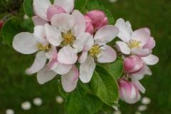 Apfelblüte-4