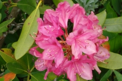 Rhododendron-2014