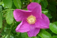 Rosa-rugosa-2