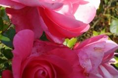 Rose-2-2010
