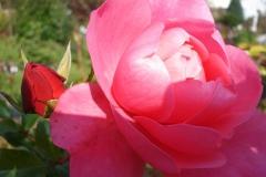 Rose-2010