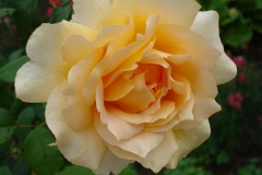 Rose-2012