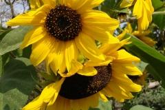 Sonnenblume-2009