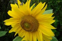 Sonnenblume-2011