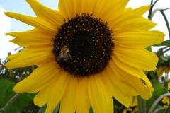 Sonnenblume-3