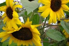Sonnenblume-4
