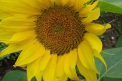 Sonnenblume-7
