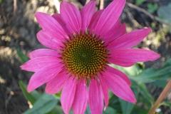 Sonnenhut-pink